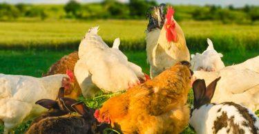 aliments pour poulets